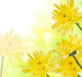 Delicate yellow chrysanthemums Stock Image