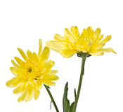 Delicate yellow chrysanthemums on white background Stock Photography