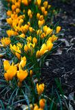 Delicate yellow crocuses in bloom. Delicate yellow crocuses Crocus x luteus `Golden Yellow` in bloom in the spring stock photos
