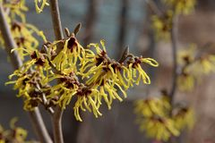 Delicate yellow flowers of witch hazel Stock Photo