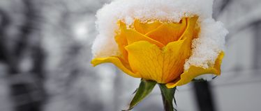 Delicate yellow rose in a flower bed covered with fresh snow. Wi Royalty Free Stock Images