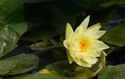 Delicate yellow waterlily Stock Photos