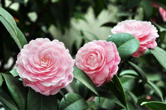 Delicately fragrant pink camellia Stock Photography
