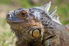 delicatissima iguana Zdjęcia Royalty Free