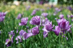 Delicioso tulipanes en la plena floración tulipanes púrpuras, raros imagen de archivo libre de regalías