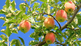 Delicious apples with blue sky in the background. Apple trees with red apples stock video footage