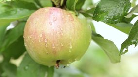 Delicious apples. Hanging from a tree branch in an apple orchard stock footage