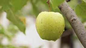 Delicious apples. Hanging from a tree branch in an apple orchard stock video
