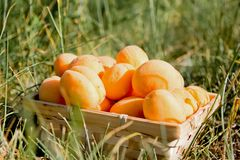 Delicious apricots in a basket, on the lawn royalty free stock images