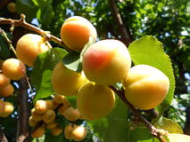 Delicious apricots on tree branch Royalty Free Stock Images