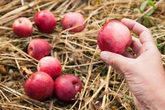 Delicious autumn agriculture red apple fall, fresh fruit food, harvest royalty free stock image
