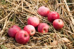 Delicious autumn agriculture red apple fall, fresh fruit food, harvest.  royalty free stock photo