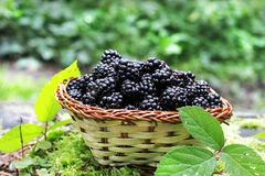 Delicious blackberry fruits Stock Photography