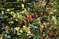 Delicious bright ripe plum. On the tree Royalty Free Stock Photos