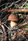 A delicious brown mushroom in the forest. Close-up of a Boletus edulis illuminated from the sunrays stock photography