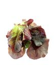 Delicious crunchy red lettuce Stock Photography