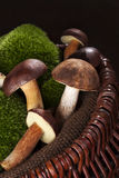 Delicious edible boletus mushrooms. Stock Photo