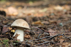 Delicious forest mushroom Royalty Free Stock Images