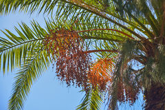 Delicious fresh dates growing on a palm tree in Gran Canaria, Spain Royalty Free Stock Photography
