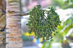 Delicious fresh dates growing on a palm tree in Gran Canaria, Spain Stock Photography