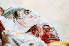 Delicious fresh fish on ice on market store shop. Close up of delicious fresh fish on ice on market store shop. Dorado fish on ice - healthy food, diet or Royalty Free Stock Images