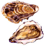 Delicious fresh opened and closed oyster isolated, watercolor illustration on white. Background Royalty Free Stock Photos