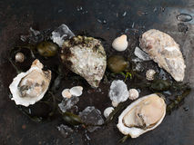 Delicious fresh oysters Royalty Free Stock Images