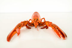 Delicious freshly steamed lobster Stock Photography