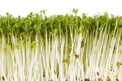 Delicious garden cress Stock Image