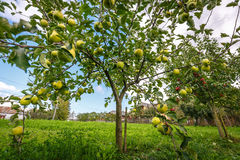 Delicious Golden apple trees Stock Photos