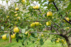 Delicious Golden apple trees Stock Images