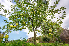Delicious Golden apple trees. Apple trees of Delicious Golden species in an orchard at harvest time Stock Image