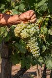 Delicious grape on the farmer hand Royalty Free Stock Photography