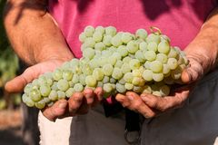 Delicious grape on the farmer hands Royalty Free Stock Image