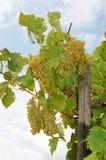 Delicious grapes Stock Image