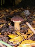 Delicious healthy Polish mushroom in autumn forest.  royalty free stock photography