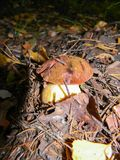Delicious healthy Polish mushroom in autumn forest.  royalty free stock photo