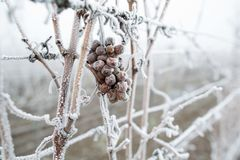 Ice wine. Wine red grapes for ice wine in winter condition and snow. Frozen grapes covered by white flake ice, The sweetest wine i royalty free stock photos