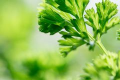 Delicious juicy parsley with green leaves closeup. Delicious juicy curly parsley with green leaves closeup in spring royalty free stock image