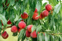 Delicious juicy peaches growing on the tree in the garden. The Delicious juicy peaches growing on the tree in the garden Stock Photography