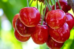 Fruit in garden Royalty Free Stock Photography