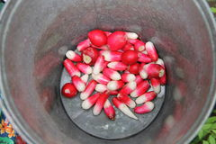 Delicious juicy red and white radish in an iron bucket. Juicy red and white radish in an iron bucket Stock Images