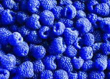Delicious natural background of many ripe unusual blue fr. Bright delicious natural background of many ripe unusual blue fragrant raspberry berries royalty free stock images