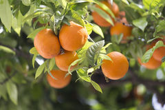 Delicious oranges on tree. Fresh and delicious oranges on tree Royalty Free Stock Photos