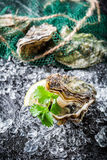 Delicious oysters ready to eat Stock Photo