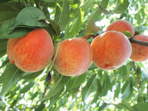 Delicious  peach Royalty Free Stock Photo