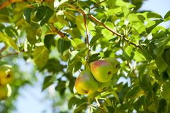 Delicious pears on branch Stock Images