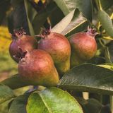 Delicious pears growing close view stock images