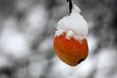 Delicious red apple, covered with slow falling snow, on a branch in winter time stock photo