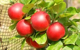 Delicious red apples on branch Stock Photo